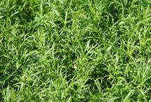 Camomile Lawns