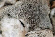 Farkasok <3