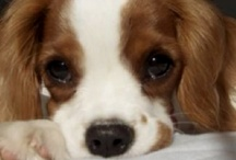 cavilier king Charles spaniels
