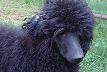 OoDLeS of Poodles, and more / I'm a Standard Poodle owner and devout Poodle fan. Love the breed! / by Sharon Cabral