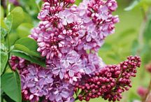 spring flowering Trees and shrubs