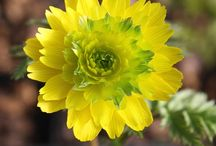 2016 PDN New Plants--February 21, 2016 / The perennials below are ones that we have never offered before or are perennials that have been absent from our catalog for 6 years or more.