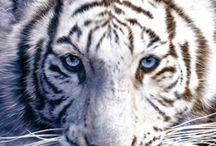 Tigri Albi