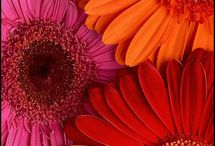 Gerber Daisies (My favorite ) / by Vicky Mcguire