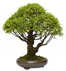 Bonsai Trees / Share you favourite bonsai tree images with the world here.