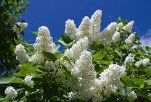 Balsham Lilac Walk