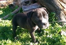 Staffs pups wellington / About 6 pups for sale