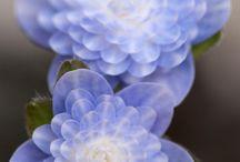 "r. japonica  ""Haruno"