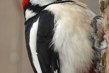 Woodpecker -datel