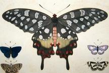 Dru Drury Exotic Insects, Butterflies & Moths