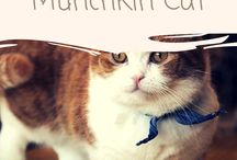 Munchkin cat / featuring articles about Munchkin cat breed information, cat selection, training, grooming and care for cats and kittens.