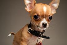 Chihuahua's / Chihuahua's