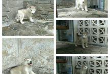 Von Javelline Kennel Jual anjing Alaskan Malamute Kualitas Super