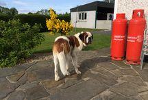 St. Bernard!! / Dogs