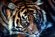 WILD_CATS
