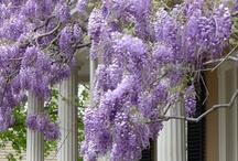 wisteria...we ♥