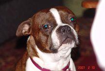 Boston Bulldog\