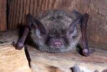 Wisconsin Bats / by Wisconsin Department of Natural Resources (DNR)