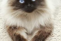 My love for birman cats