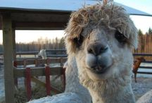 Llamas and Alpacas / A collection of the smiles and gestures of llama and alpacas of South America.  They are so cute when we put words to what we think they are thinking and feeling.