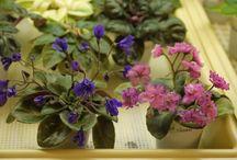 Imp's African violets