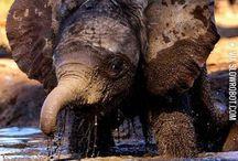 Elefant / Brown labrador