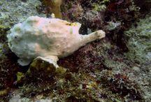 Frogfish / Frogfish