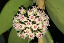 Hoyalarım (Mum çiçeklerim)