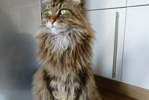 Ubertomainecoon / mainecoon cat from Germany