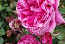 Rozen / Hollandse rozen