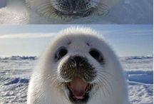 Baby snow seals
