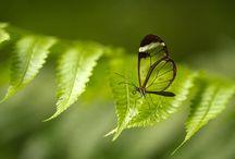 Butterfly - Kupu