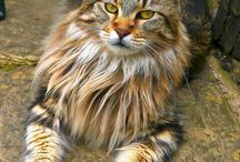 Maine Coon Cats / Beautiful Maine Coon Cats pictures! Please only Post Quality Images of Maine Coon Cats. Feel free to invite your friends!