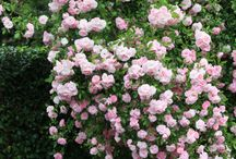 - roses -