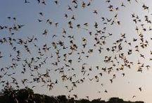 FRIO BAT FLIGHT