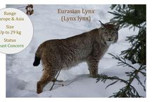 Lynx Lineage ~  Lynx Genus / The Lynx lineage consists of 4 cats in the Lynx genus that all have very short tails and pointed, tufted ears.  They live in the northern temperate climates and have been exploited widely for their fur.