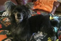 Adopt a Chinese Crested