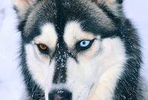 Husky and mountain Life