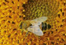 abeille qui polénise une fleur