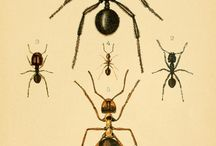 Insect Prints / Antique Prints of Insects.
