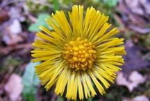 Coltsfoot (Tussilago farfara) / All things related to the medicinal herb Coltsfoot.