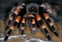 TARANTULAS, LIVING / Tarantulas_The Real Deal
