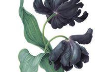 z Tulip, tulipány 2