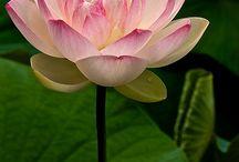 Waterlily&Lotus