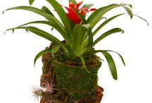 Cyma Bromeliads / Bromeliad arrangements