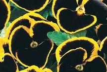 Maryland flower garden black red yellow