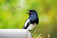 Cara Membuat Burung Kacer Cepat Jinak Dalam Waktu Singkat