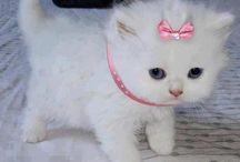 Cute white kittens with blue eyes