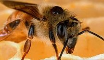 The Bees Knees / Alles rund um Bienen, Honig und Imkern