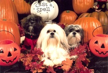MY DOGS / Bruiser and Mr. Brewster are Lhaso Apso's and Benji - a Shih Tzu